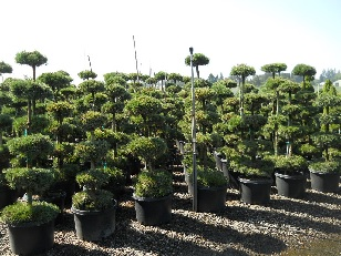 Pinus Sylvestris Tiered 10 gal and